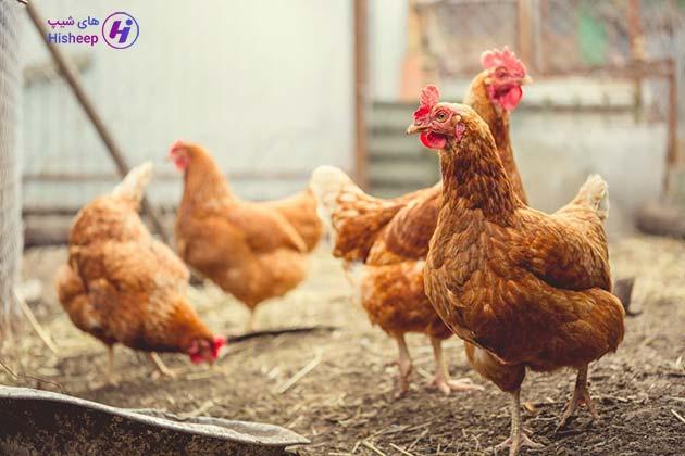 خرید مرغ محلی تهران