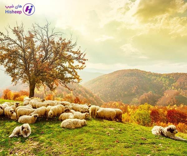 خرید گوسفند زنده کشتار