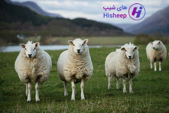 خرید گوسفنده کشتار
