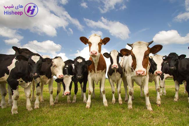 قیمت امروز گاو زنده