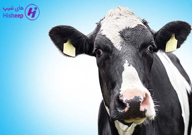 قیمت روز گاو زنده