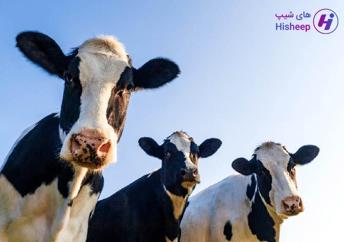 قیمت روز گوساله