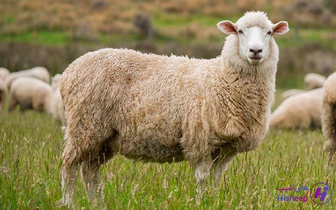 قیمت روز گوسفند کشتار