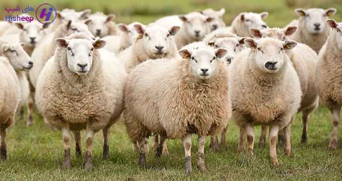 قیمت گوسفند