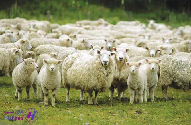 میانگین وزن گوسفند