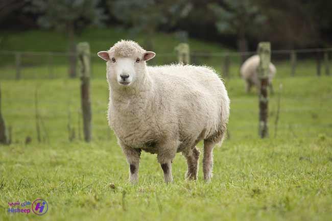 گوسفند زنده چند کیلوگرم است