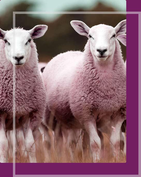 اسلایدر گوسفند