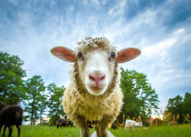 زمان خرید گوسفند یا قیمت مناسب