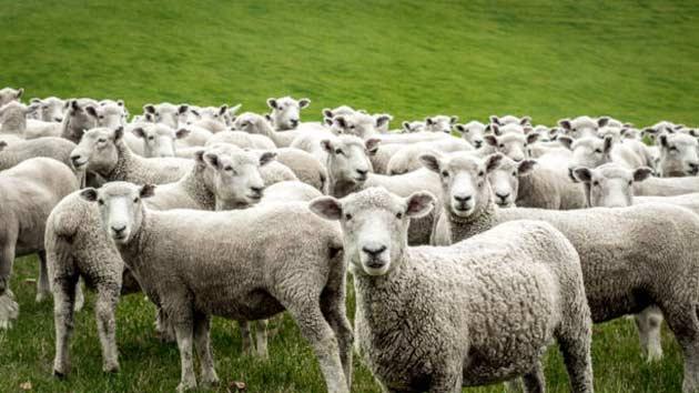 کی گوسفند بخریم