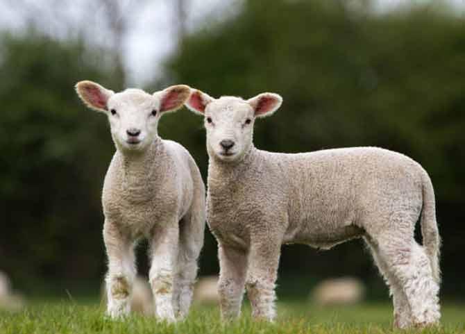 گوسفند نر بخریم یا ماده