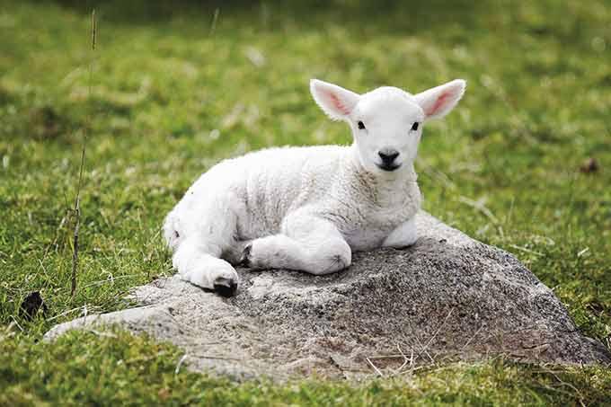 گوسفند نر بهتره برای کشتار؟